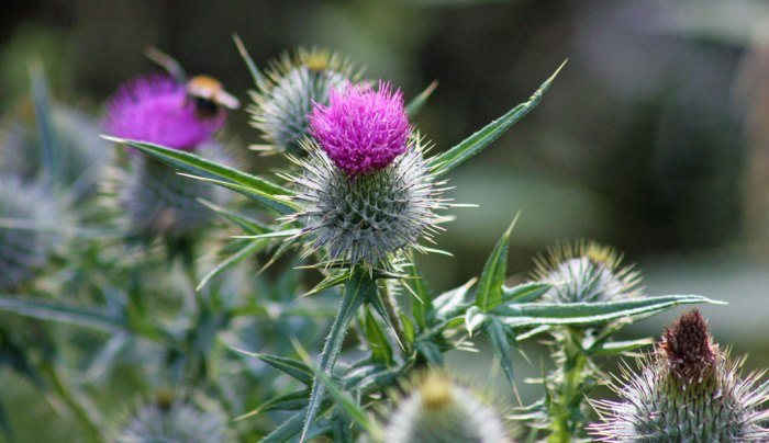 The thistle, national flower, Scotland