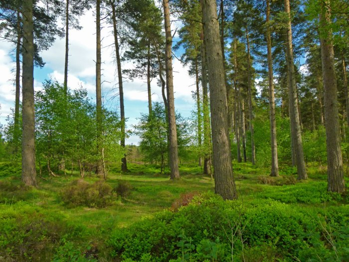 Cannock Chase is an officially designated area of outstanding national beauty.