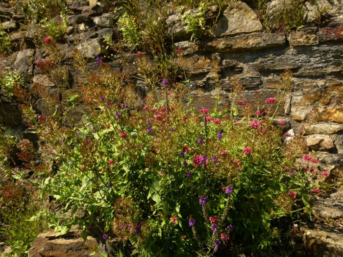 Richmond Castle walls in bloom.