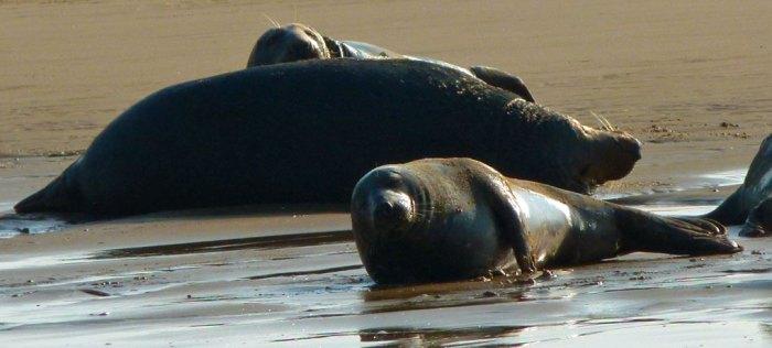 Seals, Blakeney, Norfolk