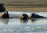 Seals, Blakeney, Norfolk