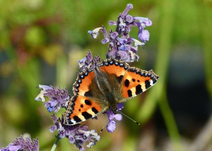 Tortoiseshell butterfly, bit about Britain