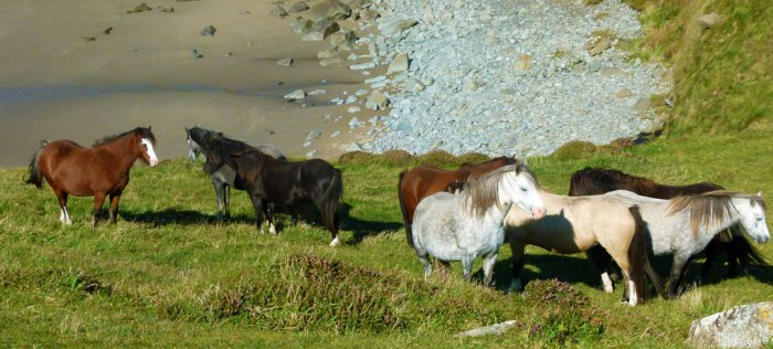 Ponies on the path, St David's Head, Pembrokeshire