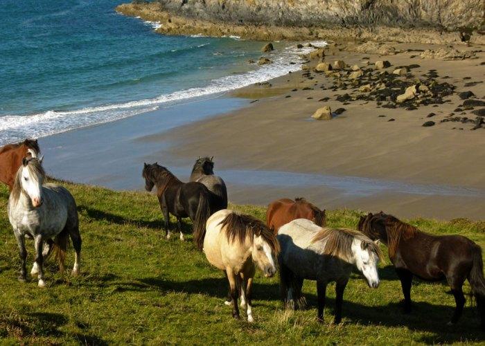 Ponies on the path, St David's Head, Pembrokeshire