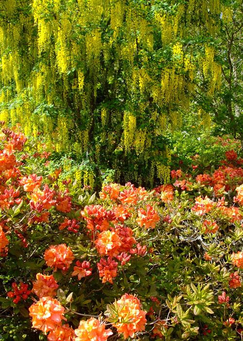 Laburnum, Exbury, garden, Hampshire