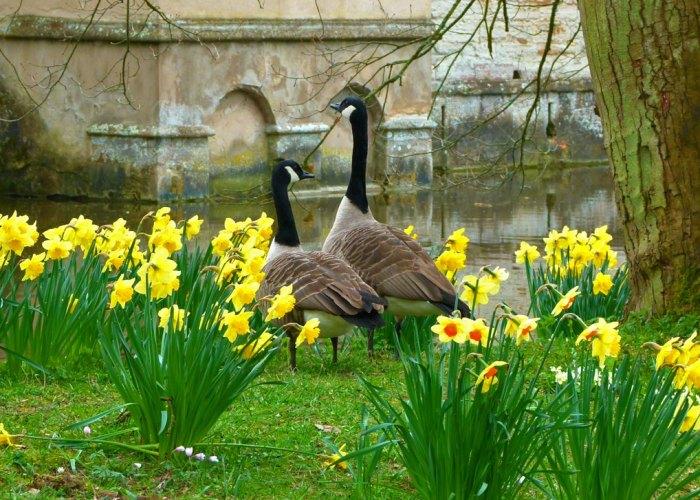 Canada Geese, Branta Canadensis, Baddesley Clinton, visit Warwickshire
