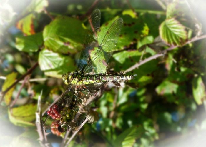 Dragonfly, heathland, Dorset, Jurassic