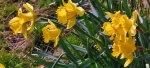 Easter, daffodils