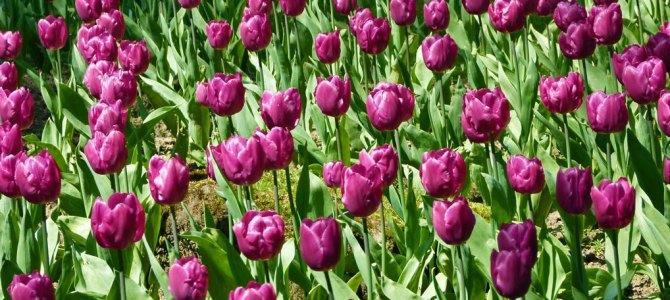 Tiptoe through the tulips at Constable Burton
