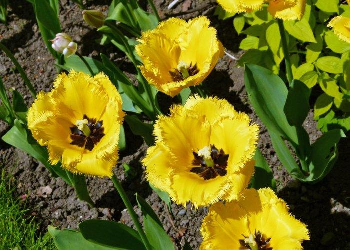 Constable Burton, tulip festival