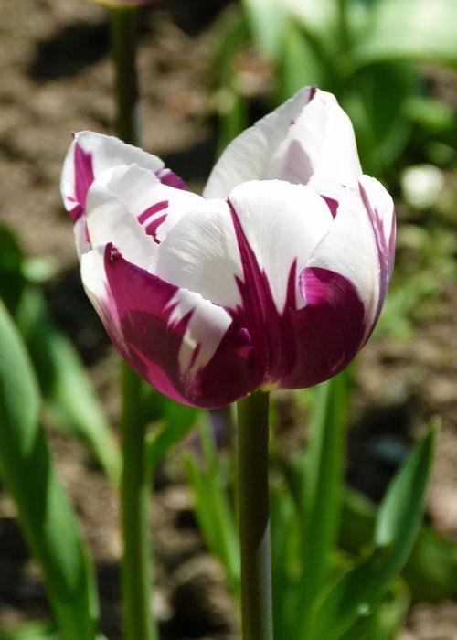 Tulips, Constable Burton