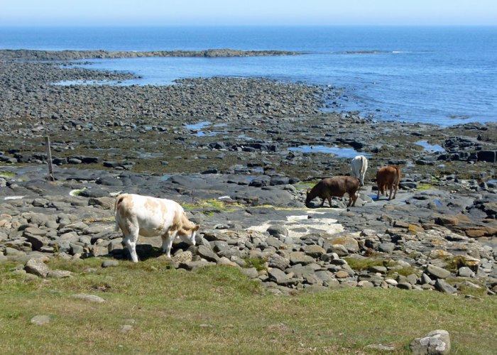 Dunstanburgh, walks, cattle