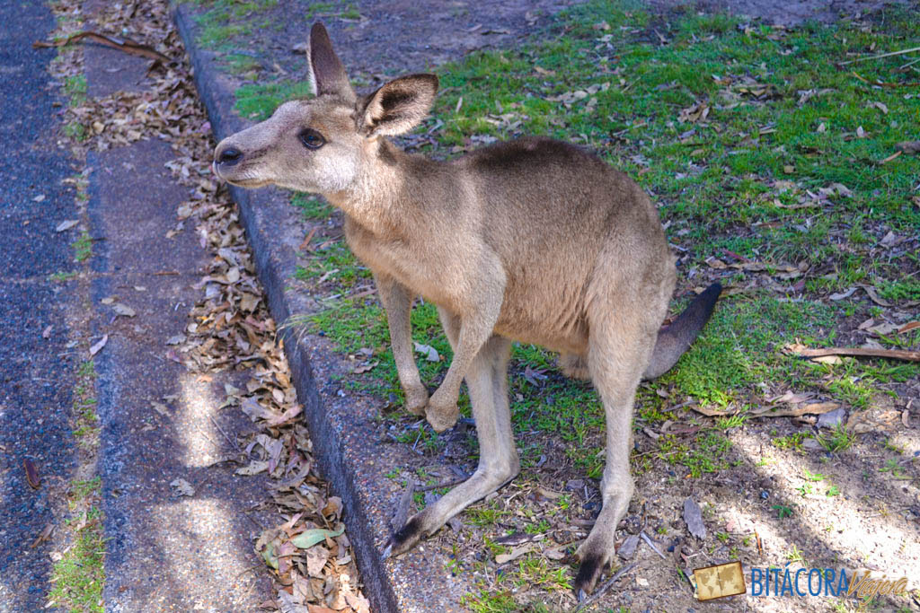 morisset-park-canguros-sidney-16