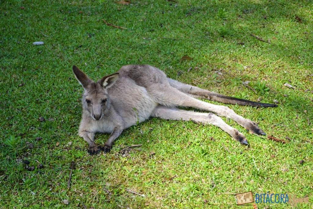morisset-park-canguros-sidney-6