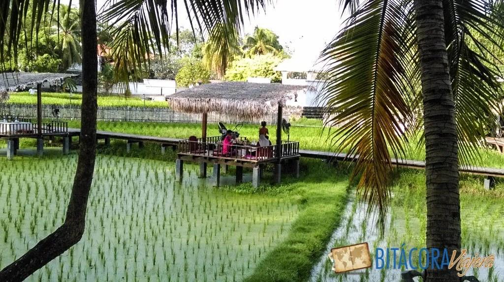 plantaciones de arroz langkawi