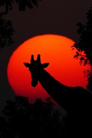 giraffe-2073609_1280