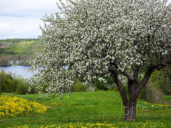 Transparent Apple Tree