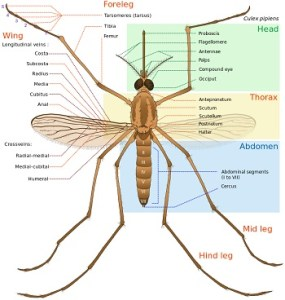 map body parts of a mosquito