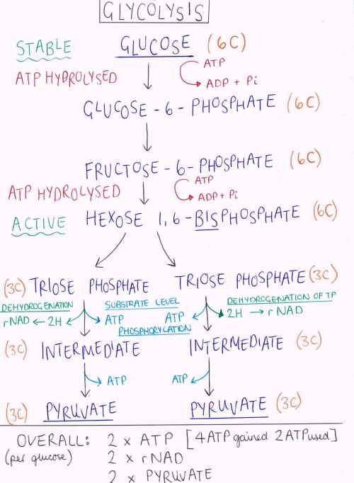 small resolution of glycolysis