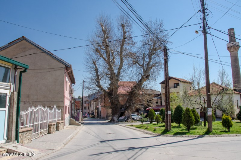 Bitola Chinar (Plane Tree) – one of the oldest trees in the Balkans