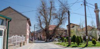 Cinar tree Bitola, Macedonia