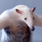 アリクイ 威嚇 画像 英語 強い ポーズ かわいい 画像 動画【動物】最強説