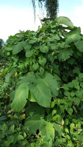 large leafy shrub which has many properties useful to man