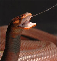 Spitting_cobra
