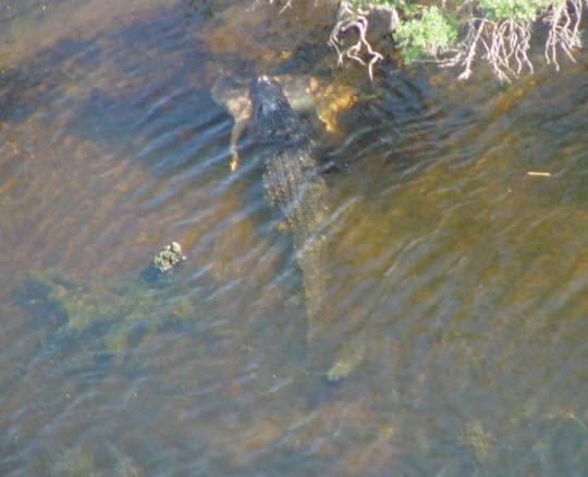 Gator deer2
