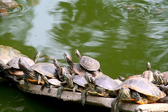 Turtle hurdle