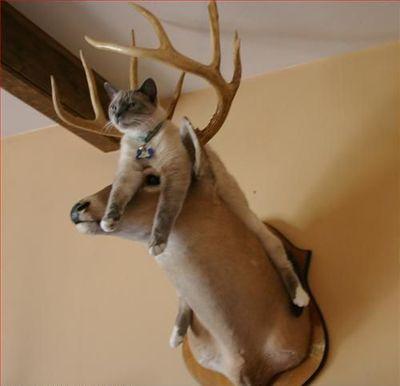 Cat on a moose