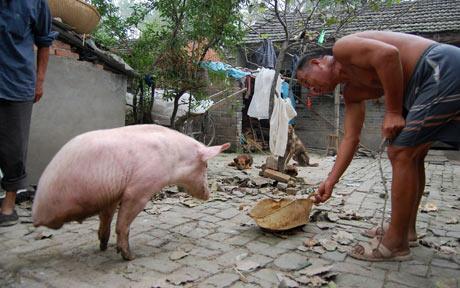 2 legged pig