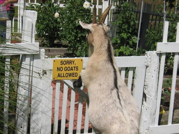 No goats allowes