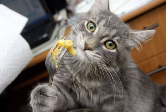 Macaroni cat