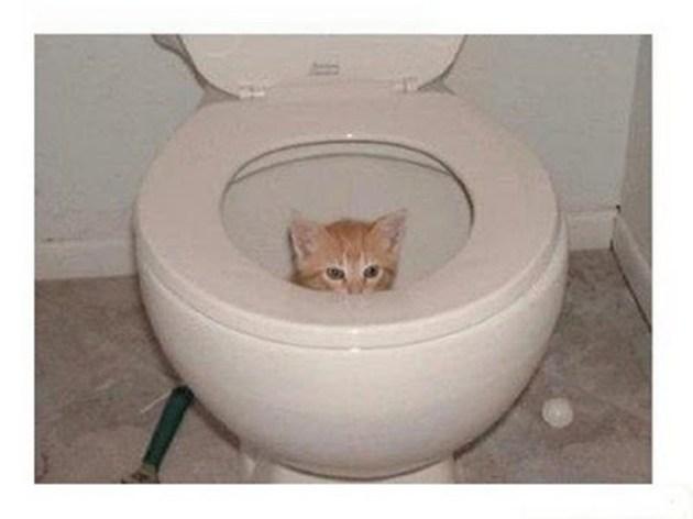 Kitty in toilet