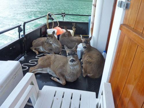 Deerswim2