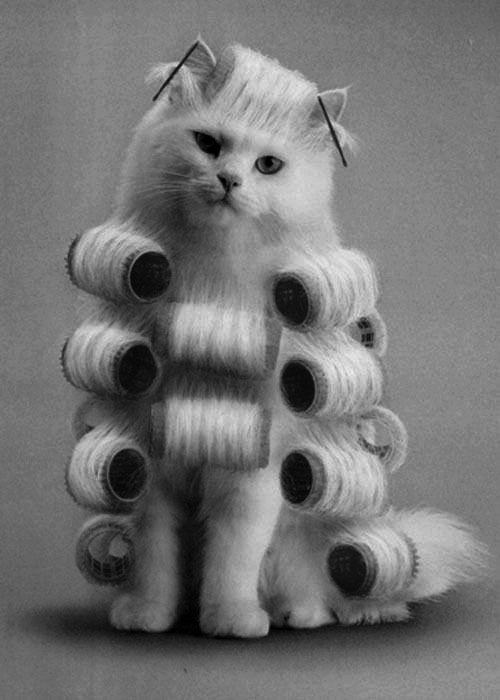 Cat in curlers