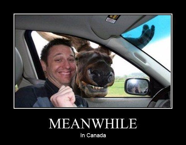 Meanwhile in Canada - moose