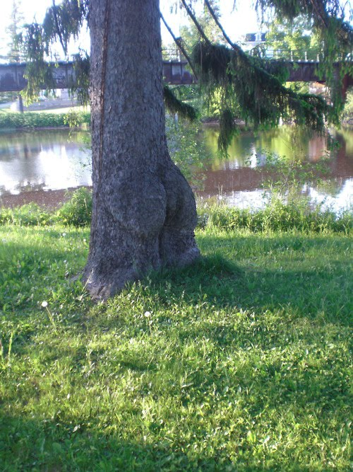 Tree butt