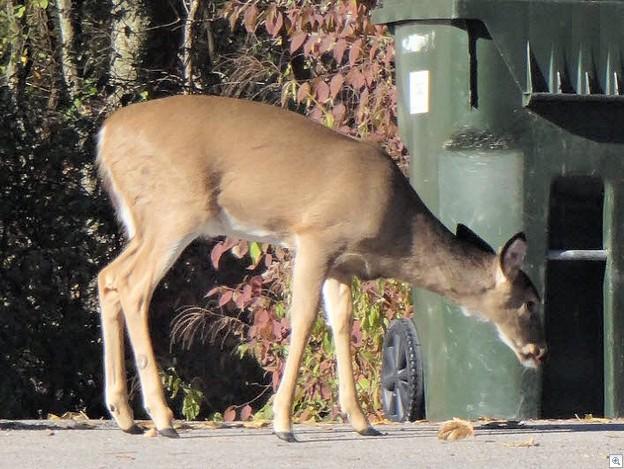 Deer 1113b