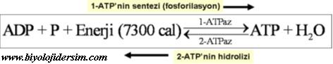 fosforilasyon ve defosforilasyon