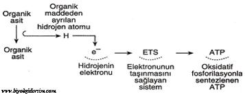 oksidatif fosforilasyon