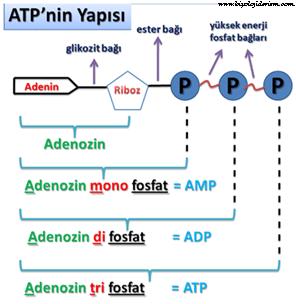 ATPnin yapısı