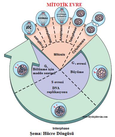 hücre döngüsü