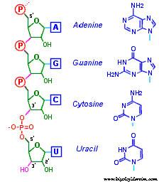 RNA sentezi