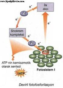 devirli fotofosforilasyon