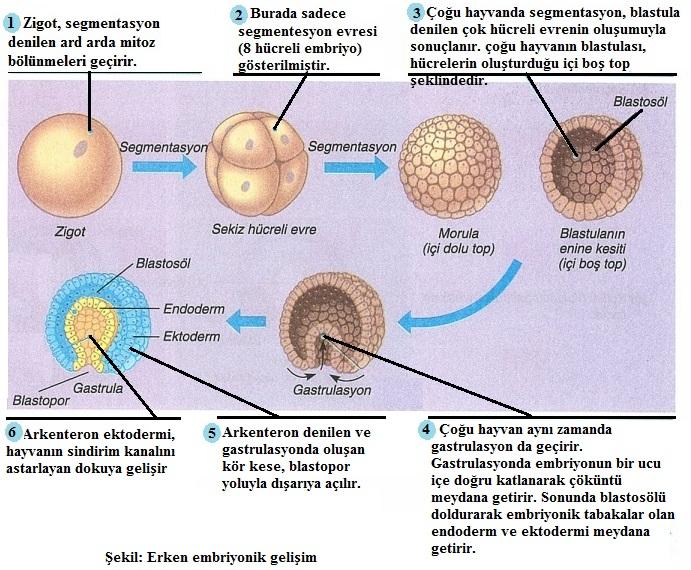 embriyonik gelişme
