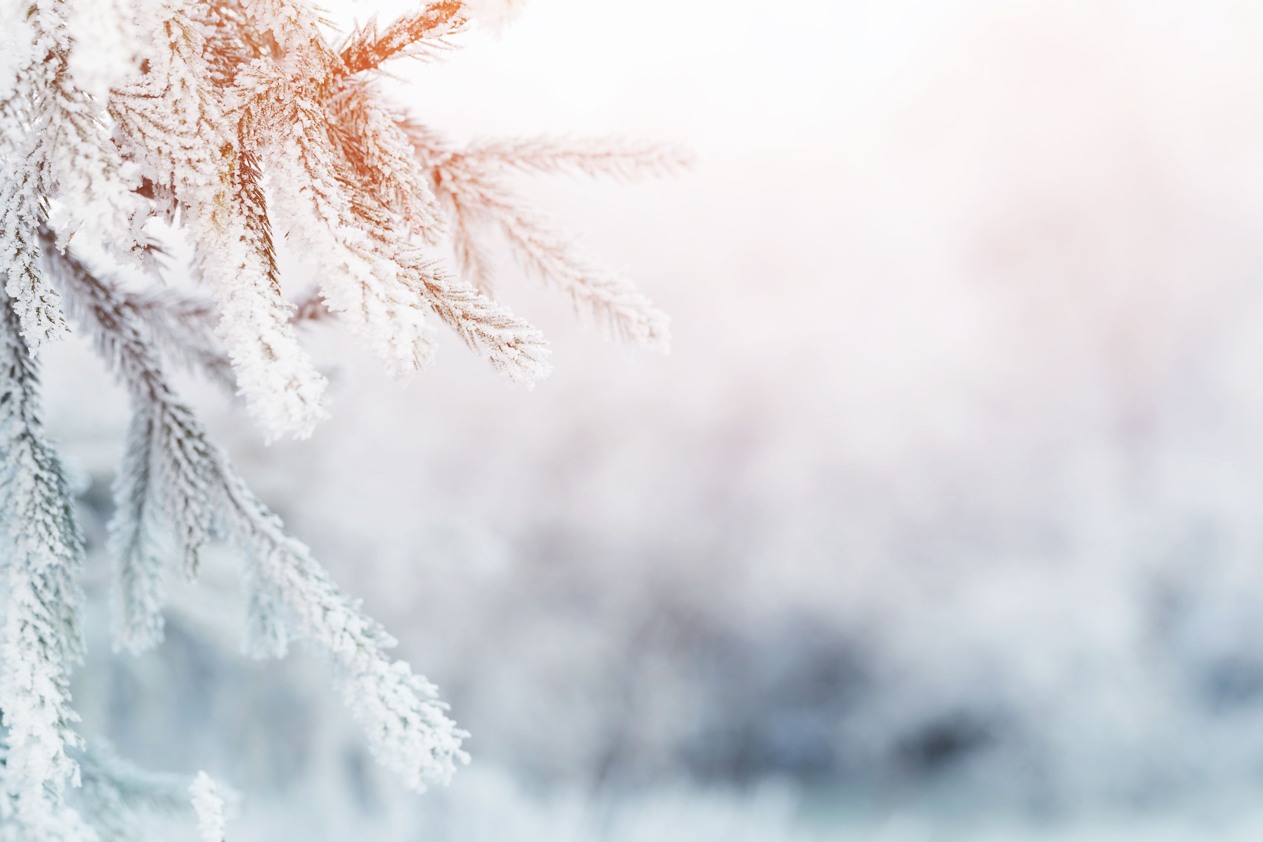 48099132 - fir branch in hoar frost on cold morning, toned photo