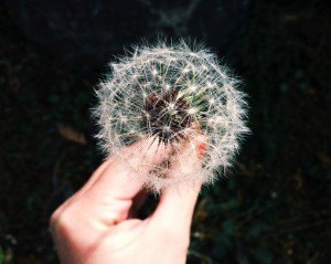 A dandelion weed