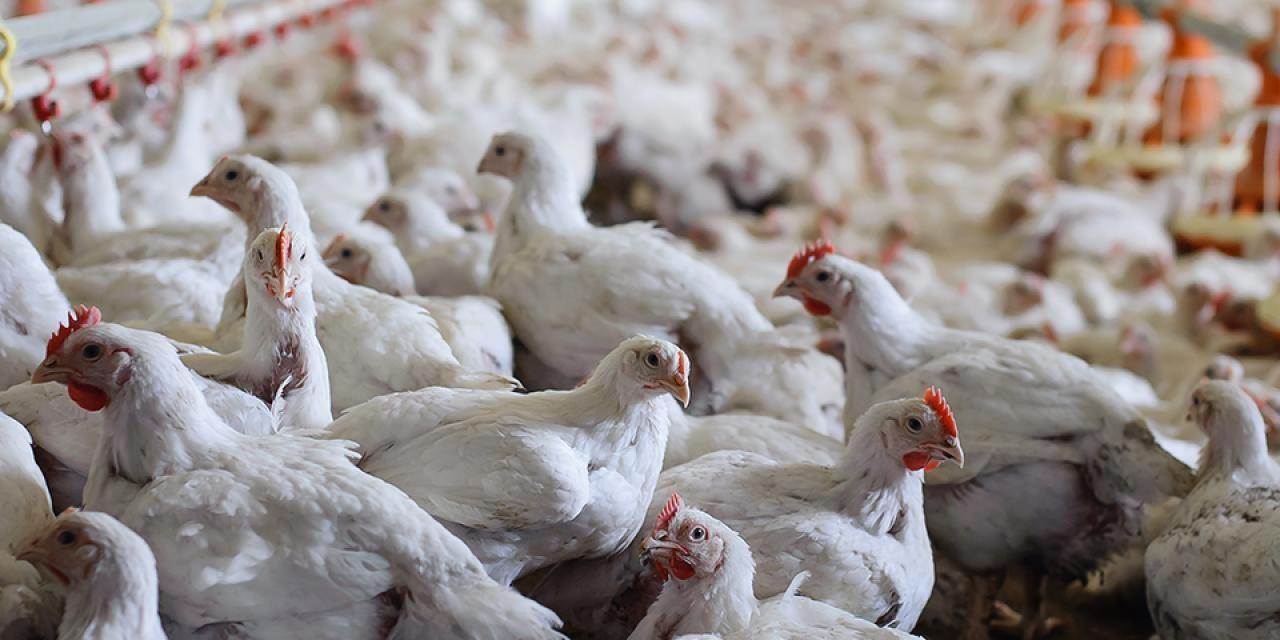 starting broiler poultry farming